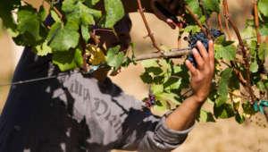 Man harvesting red grapes